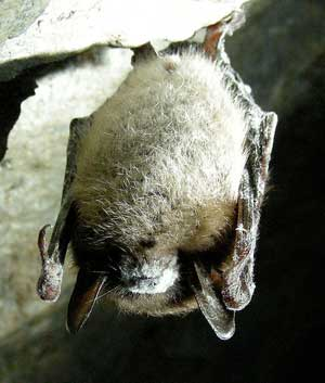 Little brown bat infected with white nose syndrome
