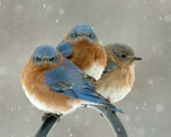 Eastern bluebirds. Photo by Wendell Long