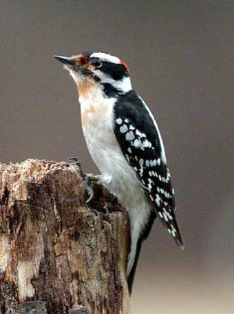 Downy Woodpecker. Photo by Wendell Long.