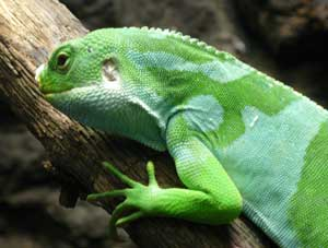 Fiji Banded Iguana.  Wikimedia Commons photo