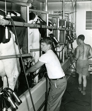 Milking at Mapleleaf Farms.  Courtesy Historic New England