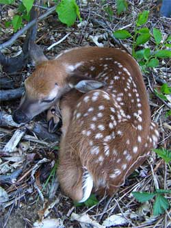 Baby fawn. Photo by Bet Zimmerman.