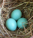 bluebird eggs. Photo by Bet Zimmerman