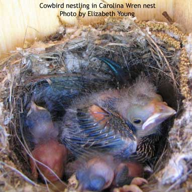 cowbird nestling in carolina wren nest. photo by Elizabeth Young of TX