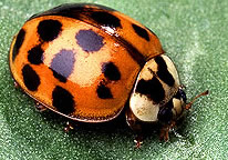 Multi-Colored Asian Lady Beetle (orange lady bug)